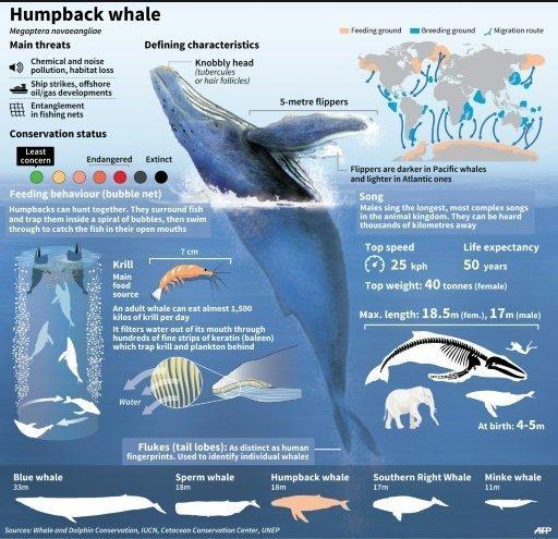 humpbackwhale